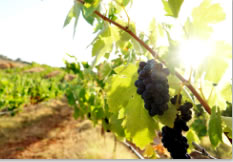 The grapes need protection against the hot sun of the Algarve