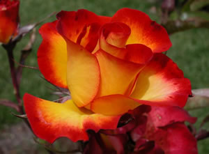 Continue to monitor Roses for, and act against pests and diseases