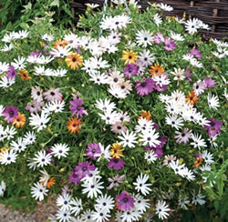 Wall planting of osteospermum