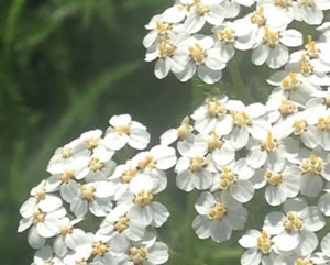 Yarrow can be helpful in certain cases of incontinence
