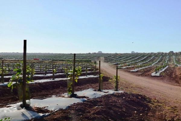 avocado monoculture