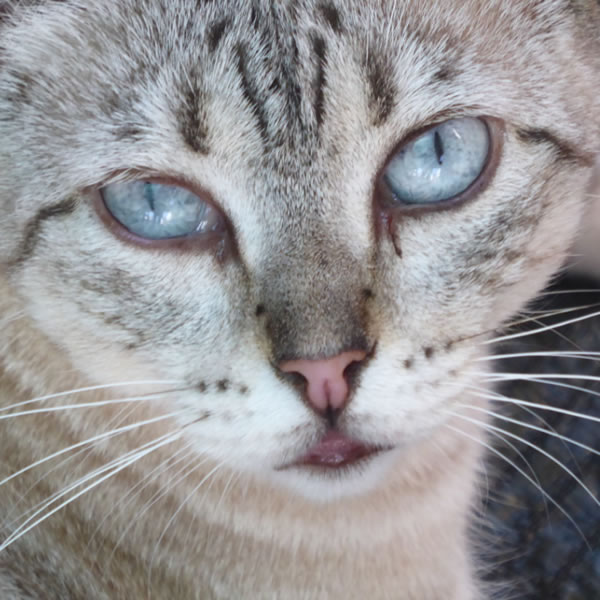 For Adoption - Ourém, the silver tabby